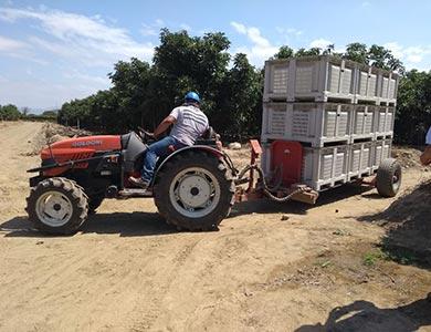 Transporte de fruta de palta de dentro de las hileras de palto a acopio en campo