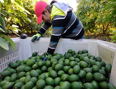 Compra y venta de fruta de palta