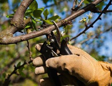 Servicio de poda de árboles frutales