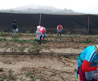 Servicio de cosecha y poda de arándanos
