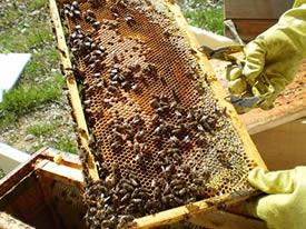 Alquiler de colmenas de abejas para polinización de palto.